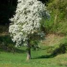 22.4.: Sonntags-Bild: blühender Baum