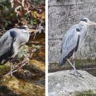 2.1.: Zwei Fischreiher am Schanzengraben