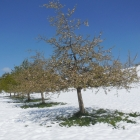 29.4.: Blühende Obstbäume im Aprilschnee