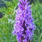 10.6.: Orchideenpracht am Uetliberg
