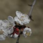 18.3.: Aprikosenblüten