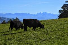 11.10.: Aussicht und Kühe