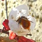 17.3.: Aprikosenblüte