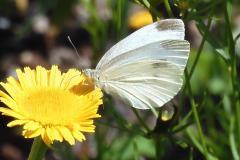 11.7.: Kohlweissling besucht Blüte