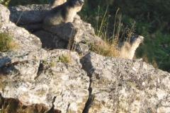 17.9.: Murmeltiere geniessen die Abendsonne, bei Andermatt
